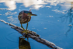 A Small Heron Dancing on a Small Log in the Water. Stock Photos