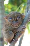 The Smallest Primate Stock Photo
