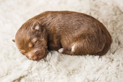 Smallest puppy lying on white furry coverlet in boarding home Royalty Free Stock Images