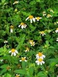 Smallflowerbeggarticks/bidens pilosa var Radiata stock fotografie