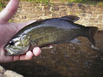 Smallmouth Bass Stock Photography