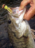 Smallmouth bass catch Stock Photo