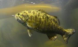 Smallmouth bass Royalty Free Stock Image