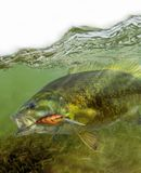 Smallmouth bass fish fighting for freedom. The smallmouth bass is found in clearer water than the largemouth, especially streams, rivers, and the rocky areas and stock image