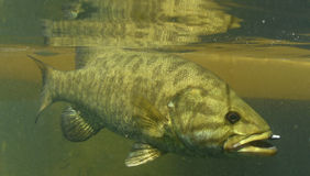 Smallmouth bass fish Royalty Free Stock Image