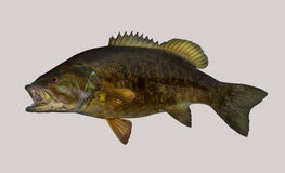Smallmouth bass fishing portrait Royalty Free Stock Images