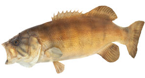 Smallmouth Bass Side View Stock Photo