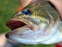Smallmouth das escalas de peixes aberto Foto de Stock