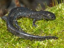 Smallmouth Salamander (Ambystoma texanum) Royalty Free Stock Photos