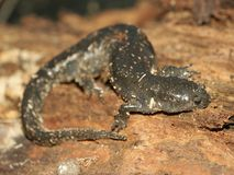 Smallmouth Salamander (Ambystoma texanum) Royalty Free Stock Photography