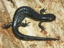 Smallmouth Salamander (Ambystoma texanum) Stock Photography