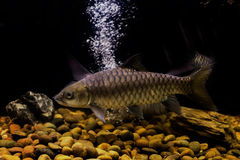 Smallscale mud carp fish Royalty Free Stock Image