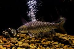 Smallscale mud carp fish. Thailand fish Royalty Free Stock Image