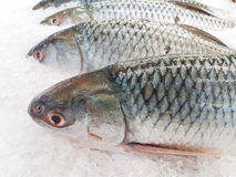 Smallscale mud carp on ice. At the seafood booth Royalty Free Stock Images