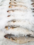Smallscale mud carp on ice. At the seafood booth Royalty Free Stock Image