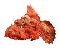 Smallscale Scoprionfish. Smallscale Scorpionfish isolated on white background Stock Photography