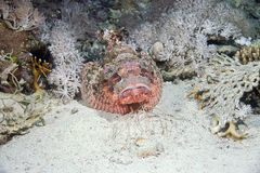 Free Smallscale Scorpiofish Stock Images - 10307404