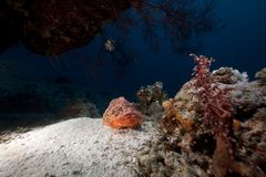 Smallscale scorpiofish in the Red Sea. Stock Photos