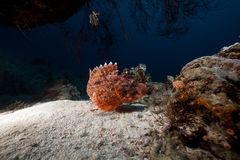 Smallscale scorpiofish in the Red Sea. Royalty Free Stock Photography