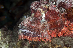 Smallscale scorpionfish Stock Images