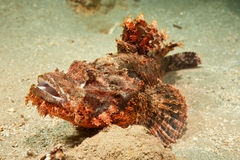 Smallscale scorpionfish Royalty Free Stock Photos