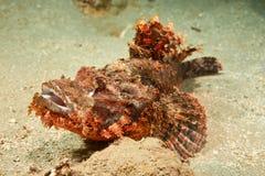Smallscale scorpionfish royalty free stock photos