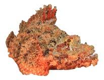 Smallscale Scorpionfish. Isolated on white background Royalty Free Stock Image