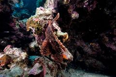 Smallscale scorpionfish in the Red Sea. Royalty Free Stock Photography