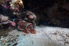 Smallscale scorpionfish in the Red Sea. Stock Photography