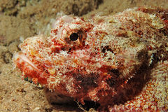 Smallscale scorpionfish. (Scorpaenopsis oxycephala). Taken at Ras Mohamed in Red Sea, Egypt Stock Photography