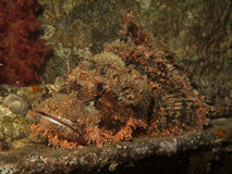 Smallscale scorpionfish Stock Photos
