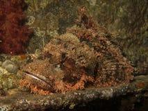 Smallscale scorpionfish. (Scorpaenopsis oxycephala). Taken at Ras Mohamed in Red Sea, Egypt Stock Photos