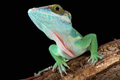 Smallwood's anole (Anolis smallwoodi). Is one of the biggest Anole species in the world. They are endemic to Guantanamo, Cuba Royalty Free Stock Photos