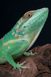 Smallwood's Giant Anole Stock Photos