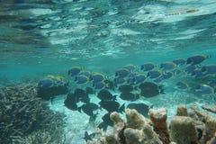 Smaltblauwe surgeonfish - Pez-cirujano azul cielo royalty-vrije stock foto's