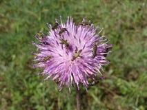 Smaragd-gräsplan blåsaskalbaggar på en knapweedlila blommar Arkivfoton