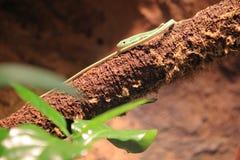 Smaragd lång-tailed ödla arkivfoton