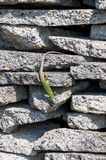 Smaragd lizard resting in the sun Royalty Free Stock Image