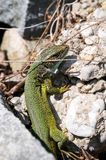Smaragd lizard resting in the sun Royalty Free Stock Photography
