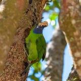 Smaragd-toucanet, Vogel lizenzfreies stockfoto