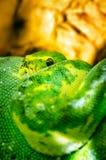 Smaragdbaum-Boa-Schlange - Grün lizenzfreie stockbilder