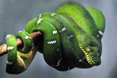 Smaragdbaumboaschlange stockfoto