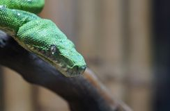 Smaragdbaumpythonschlangenmakro Stockfoto
