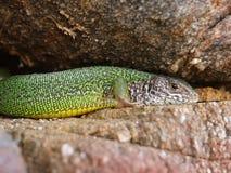 Smaragdeidechse, viridis della lacerta Fotografia Stock
