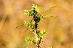 Smaragdeldflugaslut upp Royaltyfri Fotografi