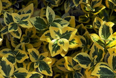 Smaragdgold (Euonymus fortunei) Lizenzfreies Stockbild