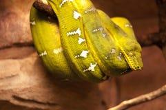 Smaragdgroene boa royalty-vrije stock afbeeldingen