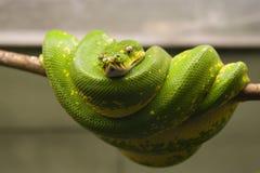 Smaragdgroene boomboa royalty-vrije stock afbeeldingen