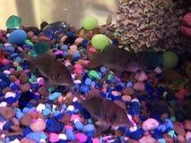 Smaragdgroene cory katvis drie in de tank stock foto's