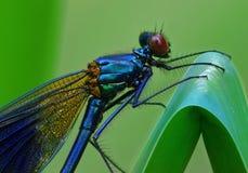 Smaragdgroene Demselfly, virgo Calopteryx Stock Afbeeldingen